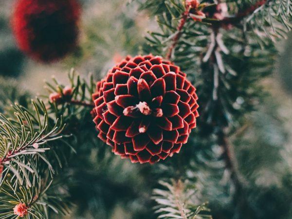 مخروط شاخه کاج